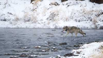 U.S. Fish and Wildlife Service Delists Wyoming Grey Wolves and Returns Management to the State